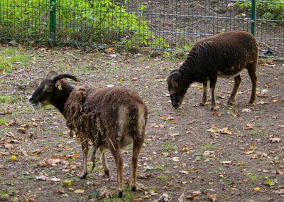Soay-Schafe 2