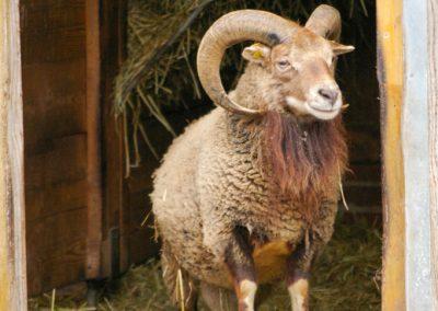 Soay-Schafe 3