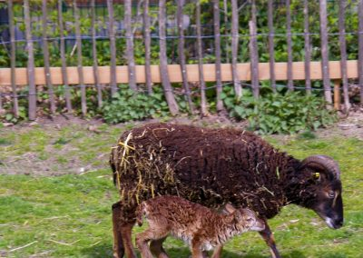 Soay-Schafe 1