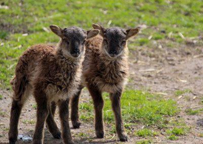 Lämmer Soay-Schafe 2