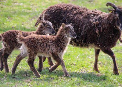 Lämmer Soay-Schafe 3