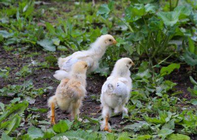 Hühnerküken 1