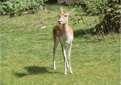 Hirschziegenantilope 1