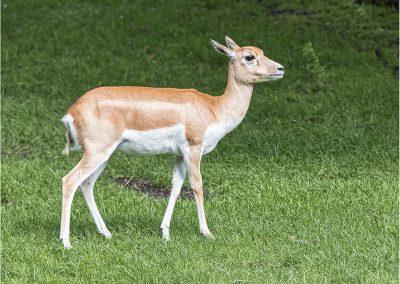 Hirschziegenantilope 2