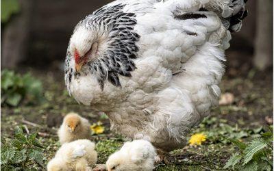 Nachwuchs bei den Brahmahühnern