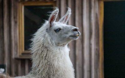 Die Schneidezähne vom Lama