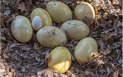 Die Nandu Eier